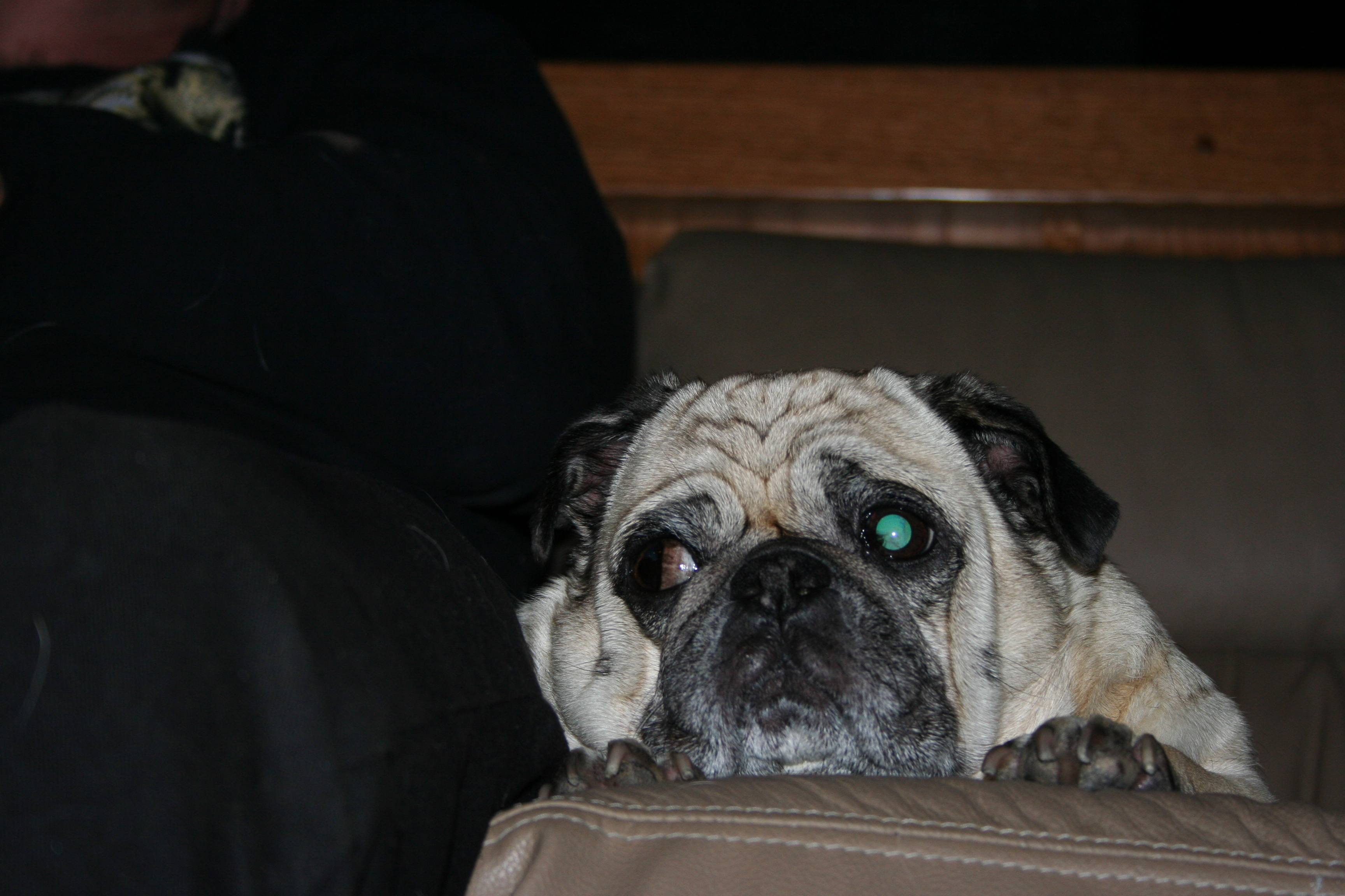 Bella the Pug dog team mascot