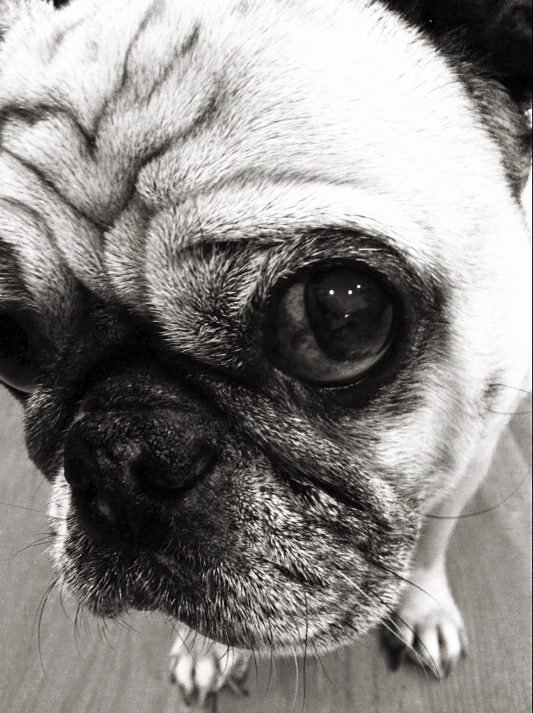 DPR's PR Pug!Furry Friend's Rock!
